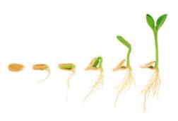 froe udvikling til 2 kimbladet plante