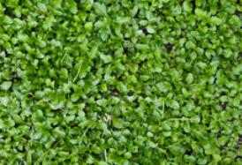 Kløver som miljøafgrøde til at opsamle kvælstof